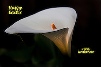 A glowing calla lily carries our wish for a Happy Easter, 2013.