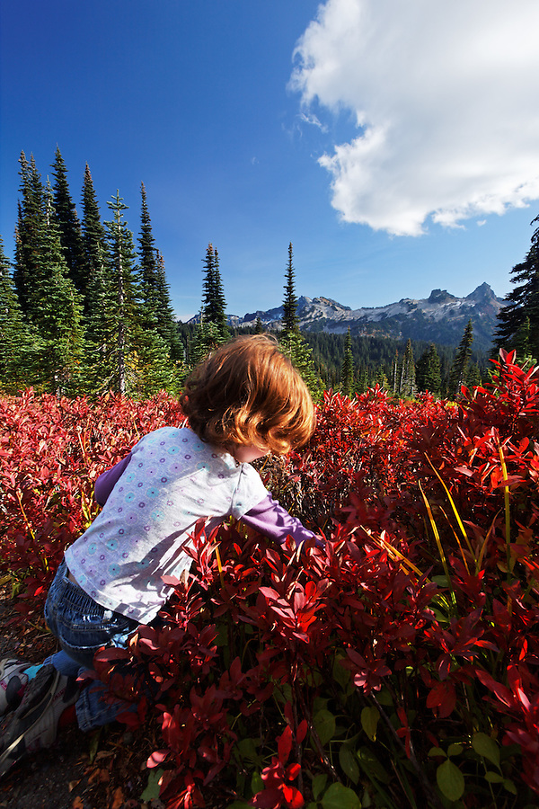 Young girl picking mountain huckleberries in autumn colored subalpine meadow, Paradise Meadows, Mount Rainier National Park, Washington, USA