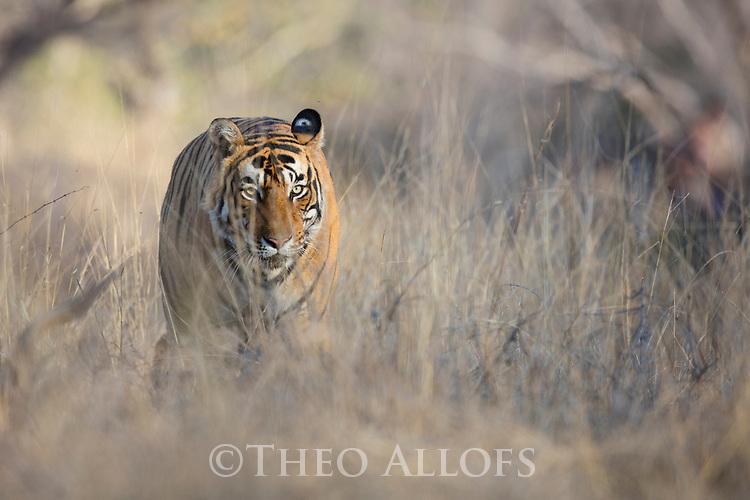 India, Rajasthan, Ranthambhore National Park, male Bengal tiger walking in grassland, front view