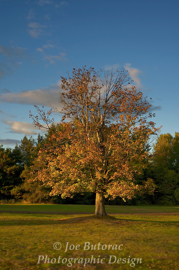 Maple Tree in Fall Campbell Valley Park Langley B. C.