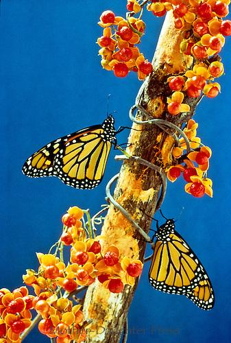 Monarch butterflies, Danaus plexippus, on branch with American bittersweet vine, Celastrus scandens, with berries