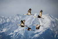 A flight of Sandhill Cranes passes in front of the Sangro de Cristo Mountains as they fly from the Monte Vista National Wildlife Refuge in Colorado's San Luis Valley.