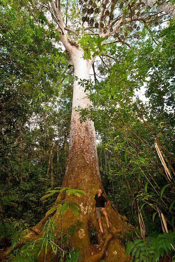 Le Grand Kaori (the largest and oldest known kauri pine tree), Parc de la Riviere-Bleue (Blue River Provincial Park), Grande Terre, New Caledonia
