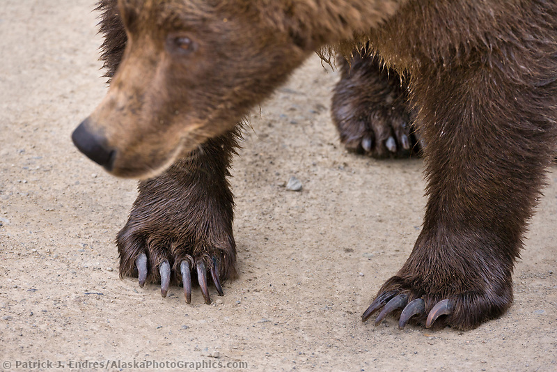 Brown bear feet and claws | AlaskaPhotoGraphics.