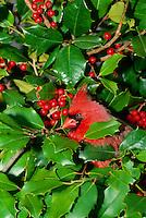Northern Male Cardinal, Cardinal cardinalis, peeking out of holly bush with red berries, Missouri USA