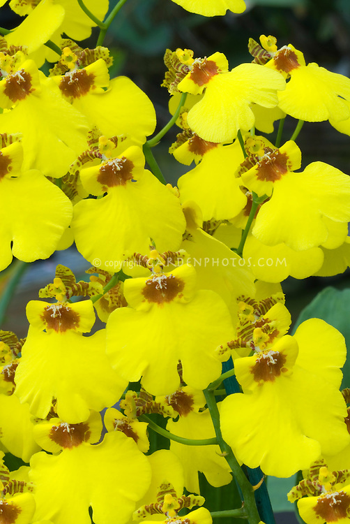 Orchids Oncidium Sweet Sugar 'Million Dollar' with many yellow dancing lady flowers