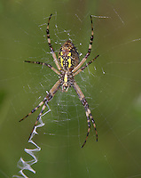 Black and Yellow Argiope (Argiope aurantia) - Female on its web