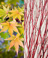 Acer palmatum 'Sango-kaku' in two stages, fall autumn foliage leaves and winter red stems twigs