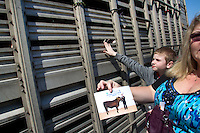 Steers are loaded onto a trailer to be hauled to a slaughterhouse after being shown.  Thomas Asplund, 12, from Milton, WA peers through metal grates at his sister's red angus  cow, that she raised for the Northwest Junior Livestock Show at the Washington State Spring Fair in Puyallup, WA. He says eventually he will go into the FFA but he has no desire to be a farmer. He helped his sister a lot raising the cow.&quot;He likes having the spot under his chin scratched,.&quot; he said. <br /> Students in the FFA and 4H programs participate in the auction of livestock including steers, lambs and hogs in the Northwest Junior Livestock Show at the Washington State Spring Fair in Puyallup, Wash. on April 19, 2015.  (photo &copy; Karen Ducey Photography)