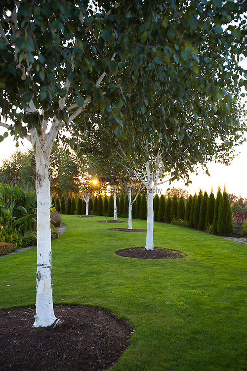 The Oregon Garden in Silverton, Oregon. White birch trees line up at sunset.