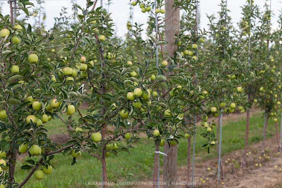 Apple Orchard. | GreenFuse Photos: Garden, farm & food ...