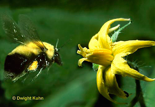BU38-023p  Bumblebee flying to tomato flower to pollinate - Bombus spp.