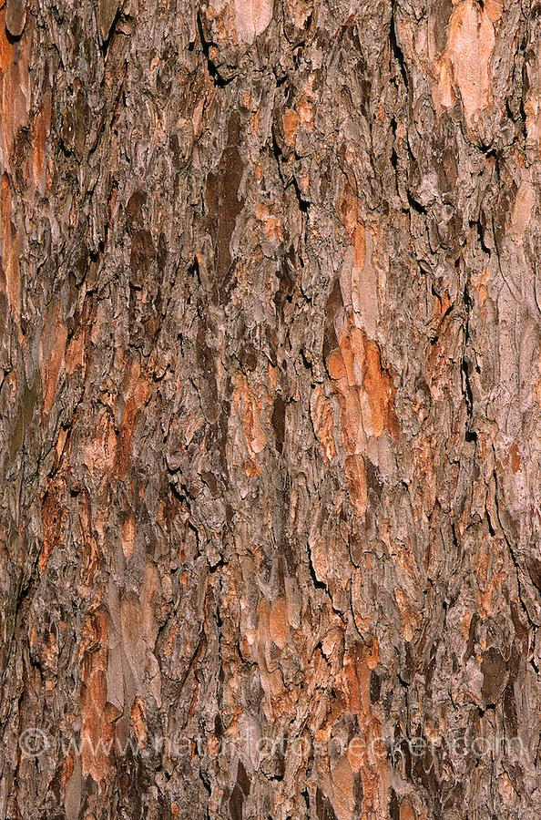 Europäische Lärche, Rinde, Borke, Stamm, Larix decidua, Zweig mit Zapfen, European Larch