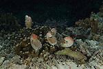 Several nautilii roaming coral reef at night, Nautilus pompilius