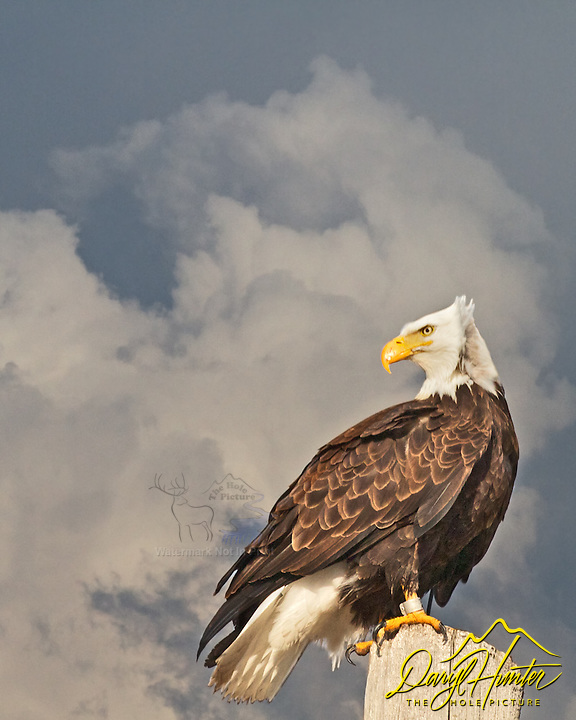 Twenty twenty hindsight, Bald Eagle, Grand Teton National Park