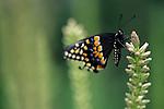Woodland park zoo butterfly exhibit E. Black Swallowtail ( papilio polyxenes) landing on flower Seattle Washington State USA.