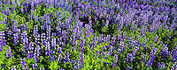 Lupine, images taken with Hasselblad Xpan camera and Fuji Velvia film.