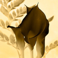 Calla Lily - Inverted Sepia