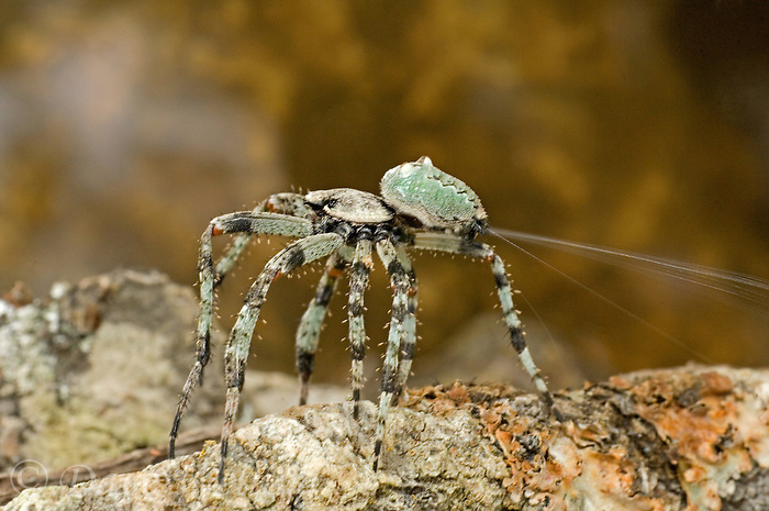 370600007 a wild humpback orbweaver spider eustala anastera spinning silk for web in the texas hill country in texas