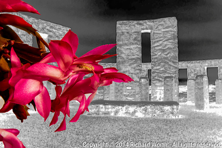 In a multiple of twists, a Thanksgiving cactus flower, sometimes called a Christmas cactus, is superimposed over a Stonehenge replica in inverted black and white.