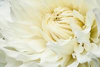 White / Cream