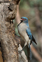 551130016 a wild  mexican jay alphelocoma wollweberi perches on a tree limb in madera canyon green valley arizona united states