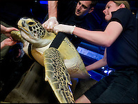 """BNPS.co.uk (01202 558833).Pic: RachelAdams/BNPS..In the swim...Sealife staff relaunch Ali with her new belt...Ali the rescued Green turtle, that sadly used to float like a butterfly and swim like a bee, now has a new lease of life after staff at the Weymouth Sealife centre invented the worlds first dive belt for the endangered sea creatures...In 2001 Ali - named after the legendary boxer -was hit by a boat in Florida which left an air bubble under her shell that prevented her from submerging and causing her to float bottom up...Despite weighing 65 kilos, she was stranded on the surface...Now a team at Weymouth Sea Life Adventure Park in Dorset have created a pioneering belt with removable weights that works just like a diver's weight belt...The new invention is believed to be the first of its kind - and means Ali, thought to be 15-20 years old, can dive again...Fiona Smith, curator at Weymouth Sea Life Adventure Park, said: """"The common thing to do is to stick weights to injured turtles' shells to allow them to dive but where Ali's shell was in slightly worse condition because of her accident it wasn't that easy...""""My team and I started thinking about how else we could attach the weights, and came up with the idea of a harness...""""We took the idea to a nearby dive shop and they came back to us with a custom-built dive belt we could slip weights into..."""