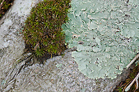Moss, (Bryophyte) and lichens,(Flavoparmelia caperata ),common greenshield lichen on  old wood share a spot of tree bark.