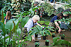 Boris Johnson Mayor of London plants waterlilies at London&rsquo;s Royal Botanical Gardens, Kew, London, Great Britain <br />  16th March 2015in the Princess of Wales Conservatory<br /> <br /> As London&rsquo;s Royal Botanical Gardens prepares for the Easter rush and summer season, the Mayor will join Kew apprentices, diploma students, and renowned Kew horticulturist Carlos Magdalena to plant young Victoria Amazonica waterlilies, colourful hybrid waterlilies and lotus plants in the Princess of Wales Conservatory.<br />  <br /> The waterlilies are grown by Carlos Mgadalena <br /> pictured with Boris. <br />  <br /> <br /> Photograph by Elliott Franks <br /> Image licensed to Elliott Franks Photography Services