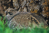 538959006 a wild blue grouse dendragapus obscurus sits partailly camouflaged by a large tree root in haden valley in yellowstone national park wyoming united states