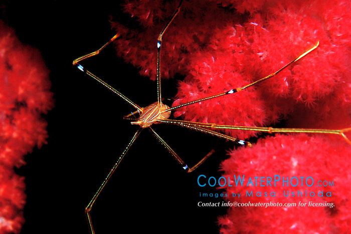 arrow crab, Chirostylus dolichopus, .on soft coral, Dendronephthya sp., .Misakisentan, Osezaki, Suruga Bay, .Izu Peninsula, Shizuoka, Japan (Pacific)