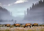 Roosevelt elk, Redwoods National Park, California