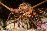 Catalina Island, Channel Islands, California; California Rock Lobster (Panulirus interruptus) in a crevis of rocky reef at the Casino Point dive site , Copyright © Matthew Meier, matthewmeierphoto.com All Rights Reserved