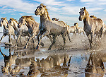 Camargue horse herd, Ile de la Camargue, France