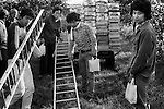 Foreign overseas students seasonal fruit picking Wisbech Cambridgeshire shire UK. Apple orchard.