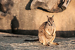 Mareeba rock-wallaby (Petrogale mareeba) and his shadow
