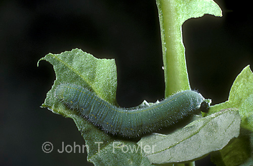 Cabbage white larva
