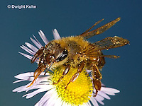 1B05-500z Honeybee about to fly from flower, 4 wings spreading for flight, Apis mellifera