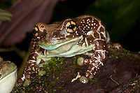 Adult Amazon Milk Frog (Phrynohyas resinifictrix), Captivity.