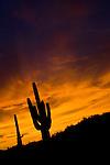 Cactus Silhouettes, AZ