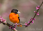 Baltimore Oriole (Icterus galbula) male perched in flowering redbud, New York, USA