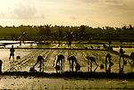 Indonesia: Bali: Rice paddy agriculture, newly planted rice field, farmers, sunset   Photo: baliin103.Photo copyright Lee Foster, 510/549-2202, lee@fostertravel.com, www.fostertravel.com