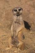 A Meerkat (Suricata suricatta)  near its den opening, Africa.