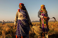 "Agricultural workers harvest ""gram"" (chickpeas) in Indore, India. Women are the backbone of the rural economy, especially in the developing world yet they receive only a fraction of the land, credit, inputs (such as improved seeds and fertilizers), agricultural training and information compared to men.  Also, women tend to be employed for labor-intensive tasks, generally earn lower wages than men and are more likely to be paid at piece rate."