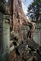 A silk cotton or kapok tree (Ceiba Pentandra) grows over the Khmer ruins of Ta Prohm, built by Jayavarman VII at  Angkor Wat - Siem Reap, Cambodia...