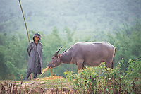 WATER BUFFALO: YUNNAN PROVINCE, CHINA<br /> A water buffalo and farmer stand in the rain in Yunnan, China. Agricultural workers are coming under increasing pressure following the opening of China's markets after WTO entry. <br /> Photo by Sinopix<br /> &copy;sinopix