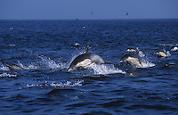 A pod of long-beaked common dolphins (Delphinus capensis) bound through Monterey Bay, California.