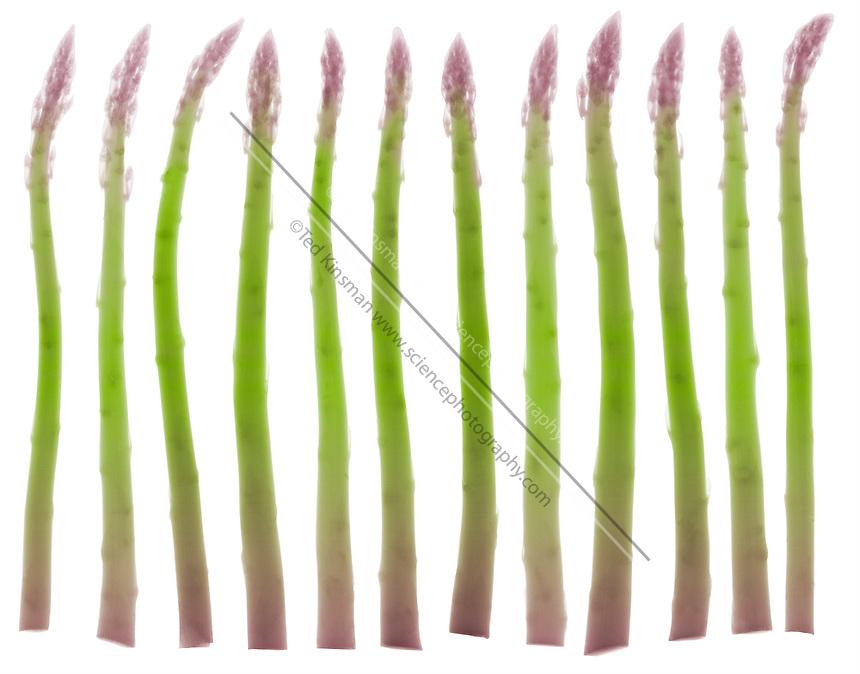 An X-ray of asparagus (Asparagus officinalis). Source of folic acid, potassium, beta-carotene, C,A, and E vitamins.