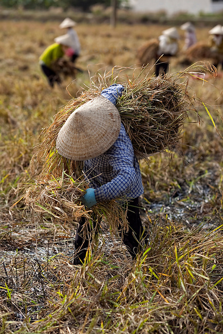 Vietnamese women harvest rice in Ho Chi Minh City...Kevin German / LUCEO