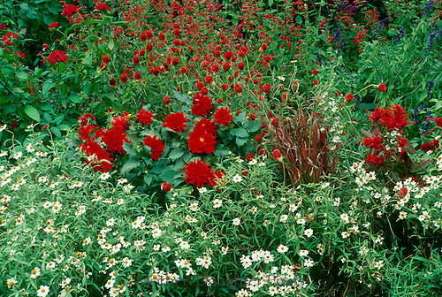 A happy red and white garden -- blooming flowers color coordinated- close up